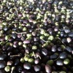 Lavorazione delle Olive